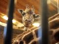 Giraffe Gaiazoo